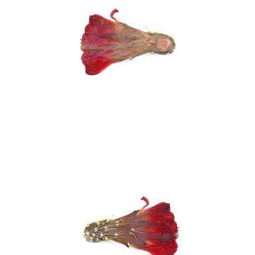 HMAO-003-1054 - Echinocereus mojavensis, USA, Utah, San Juan County