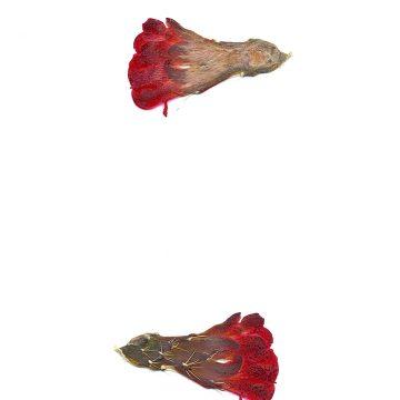 HMAO-003-1055 - Echinocereus mojavensis, USA, Utah, San Juan County