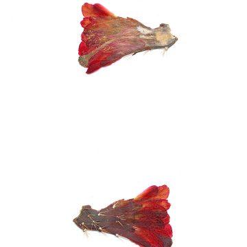HMAO-003-1056 - Echinocereus mojavensis, USA, Utah, San Juan County