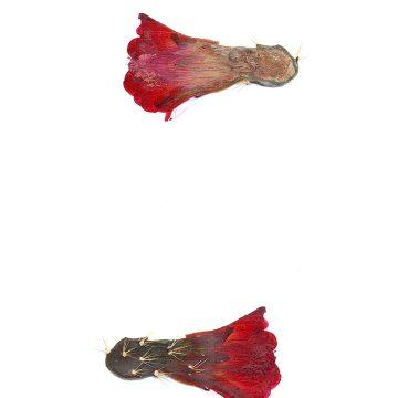 HMAO-003-1057 - Echinocereus mojavensis, USA, Utah, San Juan County