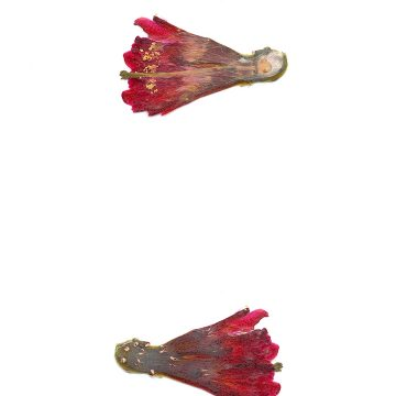 HMAO-003-1058 - Echinocereus mojavensis inermis, USA, Utah, San Juan County