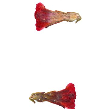 HMAO-003-1059 - Echinocereus mojavensis inermis, USA, Utah, San Juan County