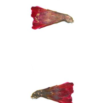 HMAO-003-1061 - Echinocereus mojavensis inermis, USA, Utah, San Juan County