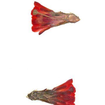HMAO-003-1063 - Echinocereus mojavensis, USA, Utah, San Juan County
