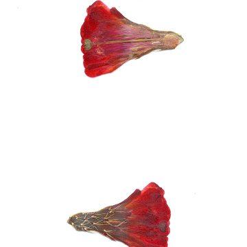 HMAO-003-1064 - Echinocereus mojavensis, USA, Utah, San Juan County