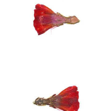 HMAO-003-1065 - Echinocereus mojavensis, USA, Utah, San Juan County