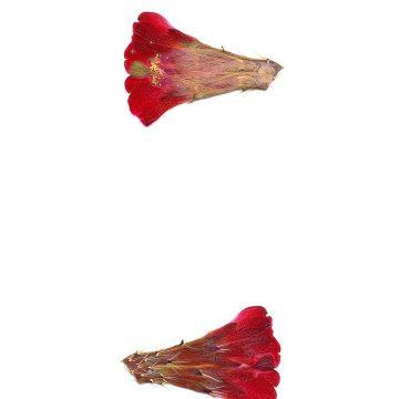 HMAO-003-1082 - Echinocereus mojavensis, USA, Colorado, Mesa County