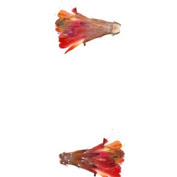 HMAO-003-1084 - Echinocereus mojavensis inermis, USA, Colorado, Whitewater