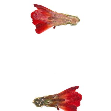 HMAO-003-1086 - Echinocereus mojavensis inermis, USA, Colorado, Whitewater