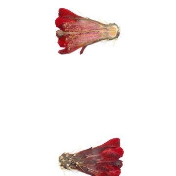 HMAO-003-1088 - Echinocereus mojavensis, USA, Colorado, Whitewater