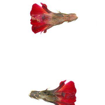 HMAO-003-1089 - Echinocereus mojavensis, USA, Colorado, Whitewater