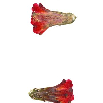 HMAO-003-1091 - Echinocereus mojavensis, USA, Colorado, Grand Mesa