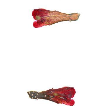 HMAO-003-1092 - Echinocereus mojavensis inermis, USA, Colorado, Grand Junction