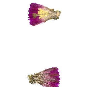 HMAO-003-1114 - Echinocereus parkeri, Mexico, San Luis Potosi, Guadalcasar