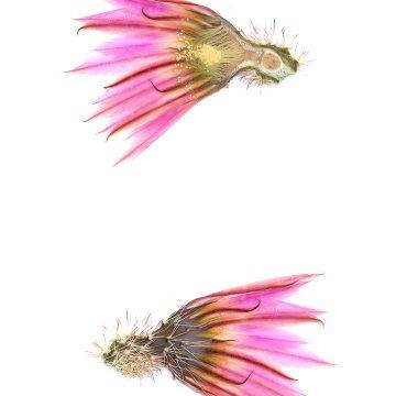 HMAO-003-1116 - Echinocereus pectinatus, Mexico, Durango, Rio Nazas