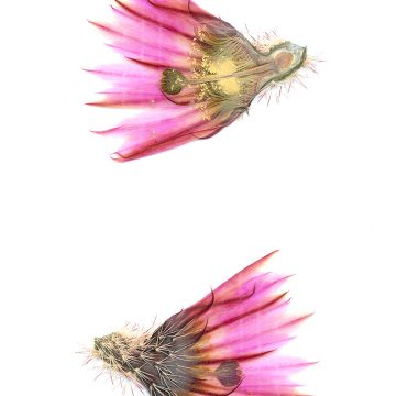 HMAO-003-1117 - Echinocereus pectinatus, Mexico, Durango, Rio Nazas