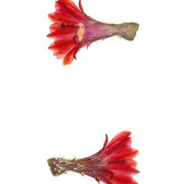 HMAO-003-1118 - Echinocereus engelmannii xmombergerianus, Mexico, Baja California, Observatorio