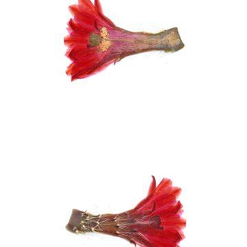 HMAO-003-1119 - Echinocereus engelmannii xmombergerianus, Mexico, Baja California, Observatorio