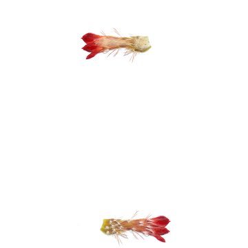 HMAO-003-1120 - Echinocereus polyacanthus, Mexico, Durango, Durango - Mazatlan, Km 55