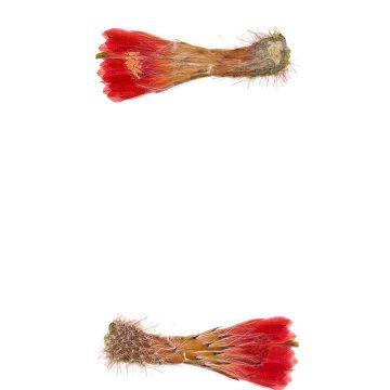 HMAO-003-1122 - Echinocereus sanpedroensis, PG180