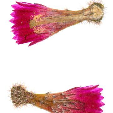 HMAO-003-1123 - Echinocereus scheeri, Mexico, Chihuahua, Samchic-Creel