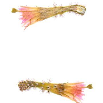 HMAO-003-1125 - Echinocereus scheeri gentryi, Mexico, Chihuahua