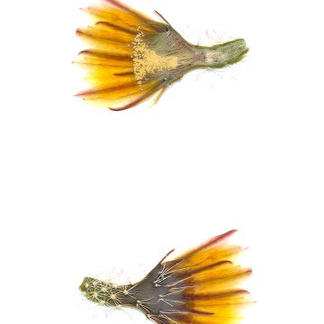 HMAO-003-1137 - Echinocereus dasyacanthus, USA, Texas, El Paso