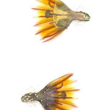 HMAO-003-1138 - Echinocereus dasyacanthus, USA, Texas, El Paso
