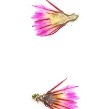 HMAO-003-1139 - Echinocereus pectinatus, Mexico, Durango, Luis Moya