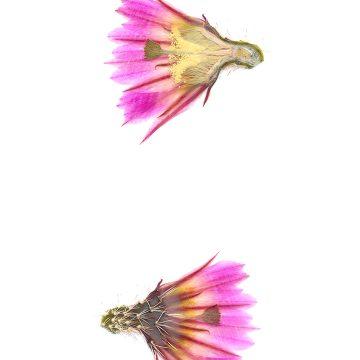 HMAO-003-1140 - Echinocereus pectinatus, Mexico, Durango, Luis Moya