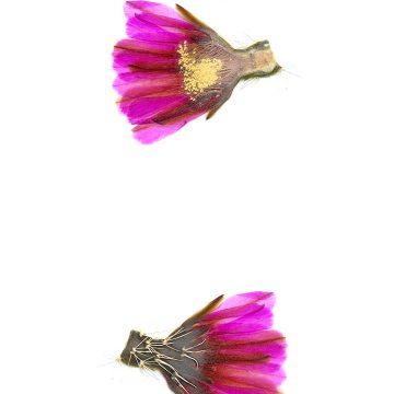 HMAO-003-1141 - Echinocereus fendleri, USA, New Mexico, Taos