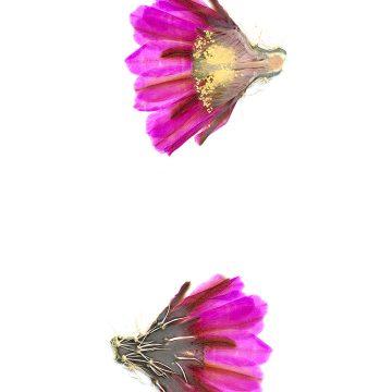 HMAO-003-1142 - Echinocereus fendleri, USA, New Mexico, Taos