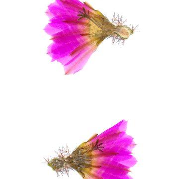 HMAO-003-1143 - Echinocereus pentalophus procumbens ritteri