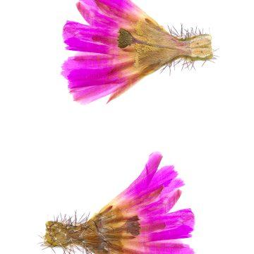 HMAO-003-1144 - Echinocereus pentalophus procumbens, USA, Texas