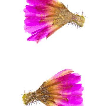 HMAO-003-1145 - Echinocereus pentalophus procumbens, USA, Texas