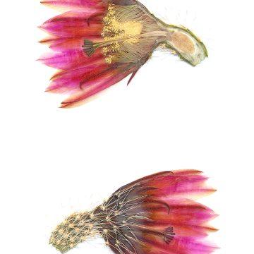 HMAO-003-1146 - Echinocereus dasyacanthus crockettianus, USA, Texas, Crockett Co., SB405
