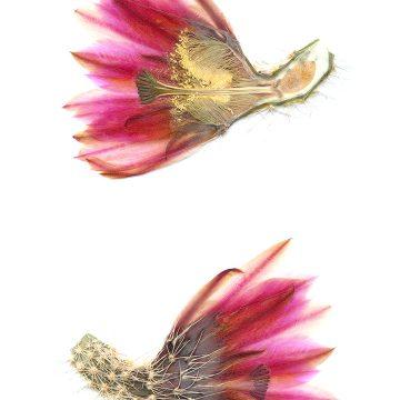 HMAO-003-1147 - Echinocereus dasyacanthus crockettianus, USA, Texas, Crockett Co., SB405