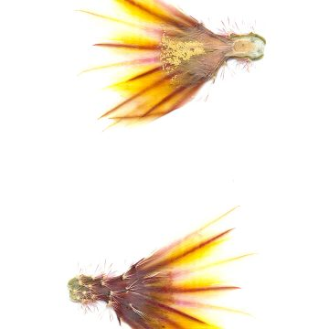 HMAO-003-1148 - Echinocereus dasyacanthus, USA, Texas, Brewster Co., Castalone - Sta. Elena