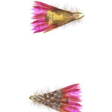 HMAO-003-1160 - Echinocereus reichenbachii perbellus, USA, Texas, Jones Co.