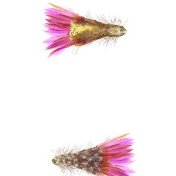 HMAO-003-1161 - Echinocereus reichenbachii perbellus, USA, Texas, Jones Co.