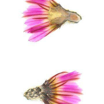 HMAO-003-1162 - Echinocereus pectinatus, Mexico, Coahuila, westlich Cuatrocienegas