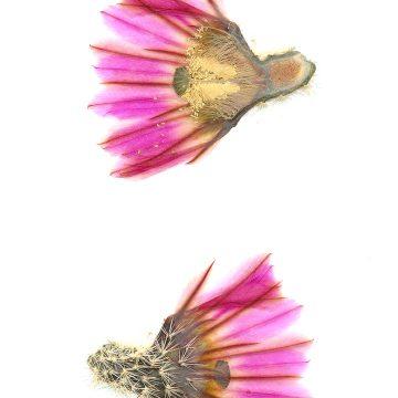 HMAO-003-1163 - Echinocereus pectinatus, Mexico, Coahuila, westlich Cuatrocienegas