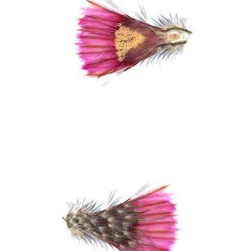 HMAO-003-1164 - Echinocereus fitchii, USA, Texas, Webb Co.