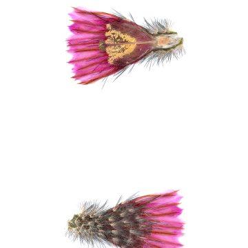 HMAO-003-1165 - Echinocereus fitchii, USA, Texas, Webb Co.