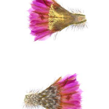 HMAO-003-1166 - Echinocereus reichenbachii baileyi, USA, Oklahoma, Medicine Park