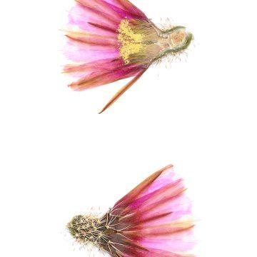 HMAO-003-1167 - Echinocereus fendleri, USA, Arizona, Straße 83