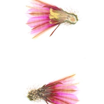 HMAO-003-1168 - Echinocereus fendleri, USA, Arizona, Straße 83