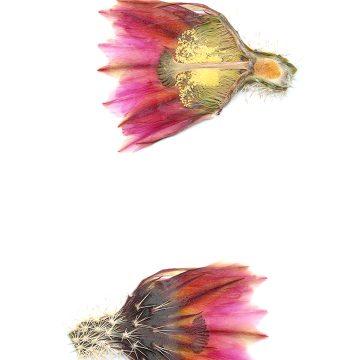 HMAO-003-1169 - Echinocereus pectinatus, Mexico, Detras