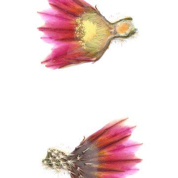 HMAO-003-1170 - Echinocereus pectinatus, Mexico, Detras