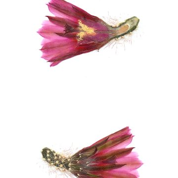 HMAO-003-1171 - Echinocereus lindsayi, Mexico, Baja California, Catavina